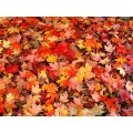 Maple leaves – extra colors